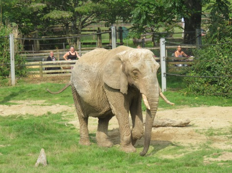 Elephant at Paignton Zoo